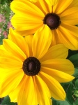 Black-eyed Susans on the East End!