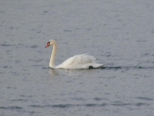 SWAN at Heckscher Park